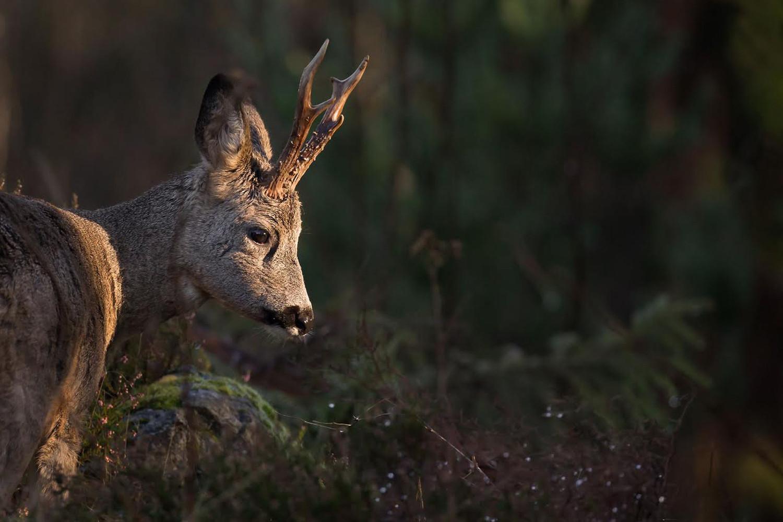 Det finns ett rikt djurliv i skogarna runt Spetsamåla Gård