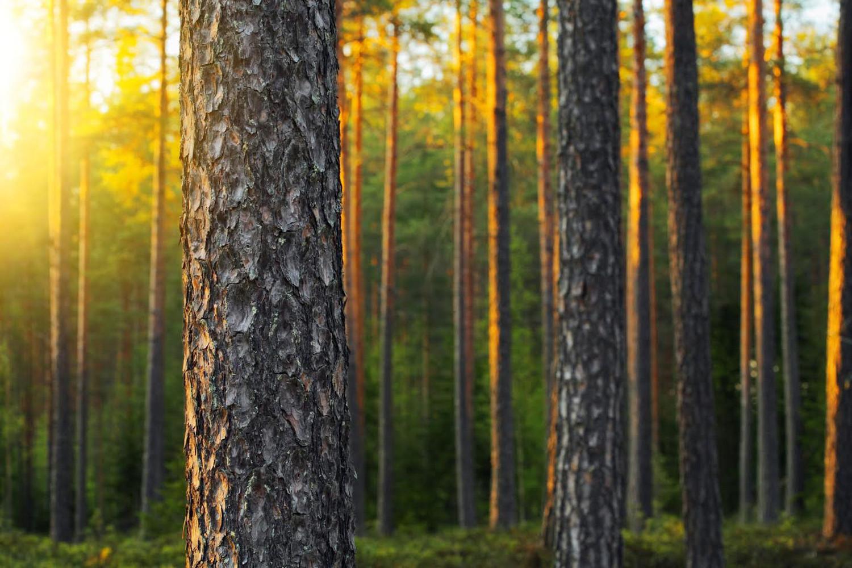 härlig kvällssol i skogen