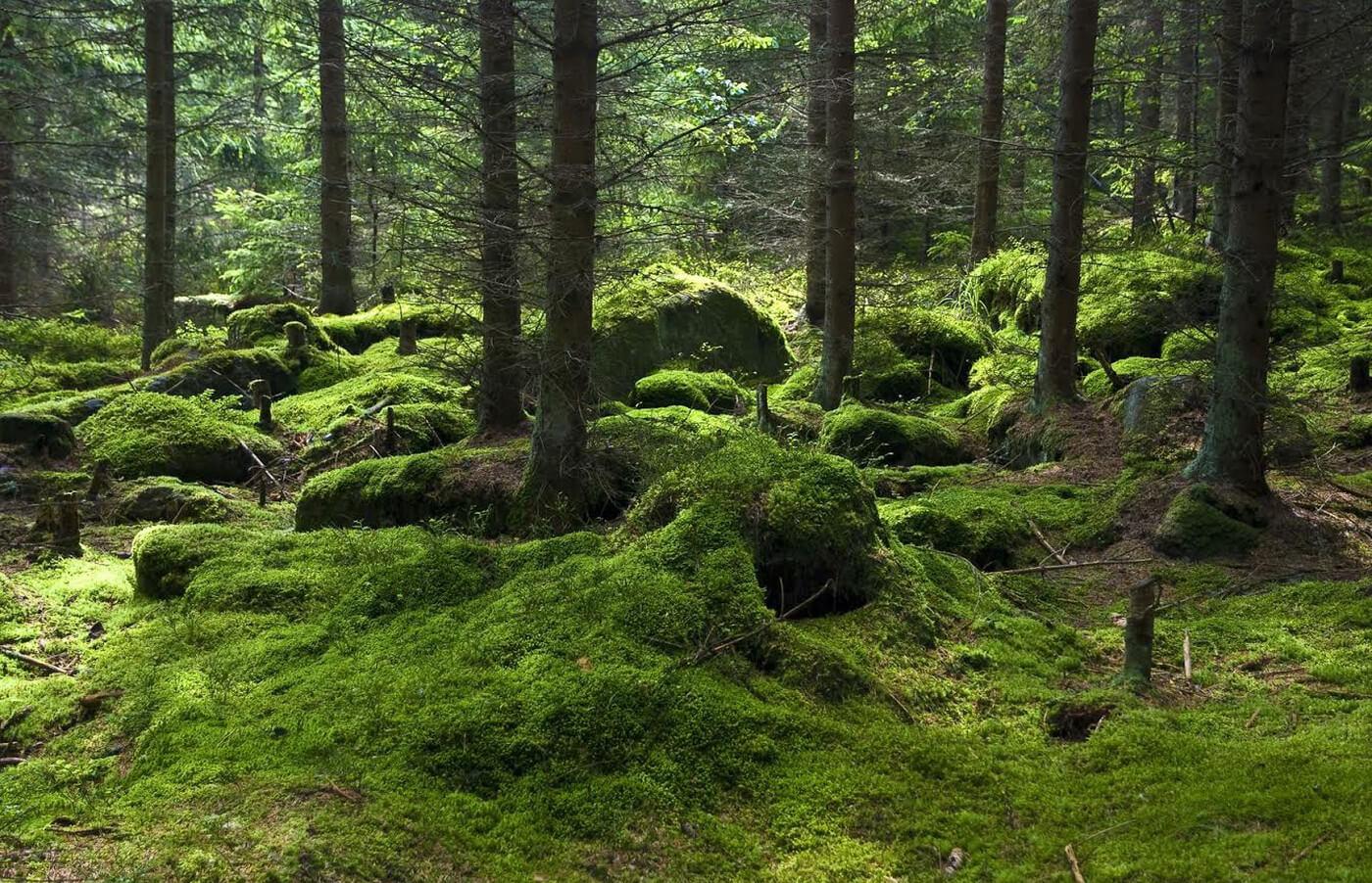 Skog på Branta Berg